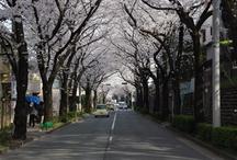 """""""Sakura"""" Japanese cherry blossoms / 2013"""
