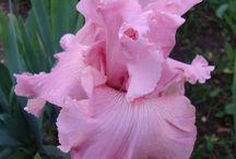 Bloemen Iris