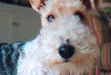 wire fox terrier related / wire fox terrier dogs, black, white, tan, curly, wiry, cute, active, fabulous / by Nancy Lennon Hansen
