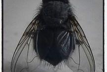 Fluevinger
