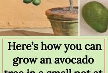 How to grow avocado in a small pot