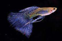 Guppy / Fish, pez