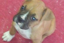 Puppy Love / Our baby boxer Maxie