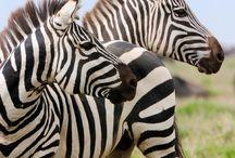 mrowniki, mrowkojady i zebry