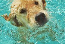 / Zion Golden Retriever / Cão, Cachorro, Dog, Pet, Zion, Golden Retriver.