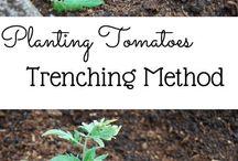 Veggie garden / Tomatoes