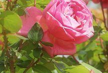 Roses / Des rose toujours. Sublimes roses des matins aux couleurs arc en ciel qui attirent les regards et nous enivrent de leurs doux parfums.