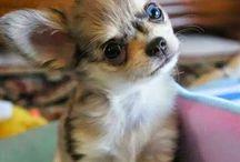 Chihuahua des BB <3