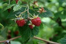 Raspberry - (Rubus idaeus) / All things related to the medicinal plant Raspberry.