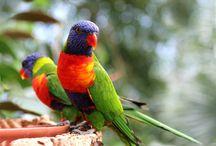 """Trichoglossus / Il genere Trichoglossus comprende dieci specie di pappagalli di media taglia comunemente denominati """"lorichetti"""", dai colori estremamente vivaci, da una forma molto allungata ed aerodinamica, dal comportamento simpaticamente iperattivo e da un aspetto piuttosto selvatico"""