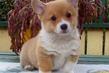 Pembroke Welsh Corgis / by Perrine Crampton