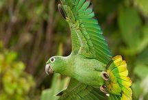 Papug...