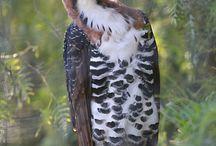 Eagles - Ornate Hawk Eagle