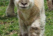 sheep funny
