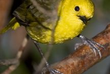 Birds-Mohouidae-Wh/Yellowheads / A a single genus family of three bird species endemic to New Zealand: the Whitehead, the Yellowhead, and the Pipipi.