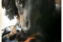 Teckel / ❤️Voici des petits chiens adorables❤️
