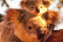 Koala / Our cute marsupial