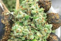 Cannabis Near Me / www.budtrader.com is the largest medical marijuana marketplace around. Browse local ads for Cannabis Flowers and BUD!