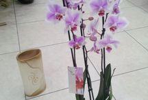 Orkide (ısparta çiçekçi)