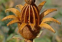 Seed pods siemenkotia
