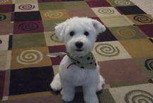 Puppy haircut