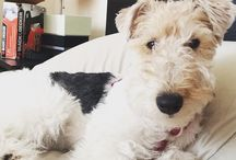 Fox terriers / Wire haired fox terrier