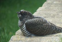 British Cuckoo