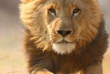 Tiere:  Löwen