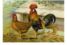 Poultry / Chooks
