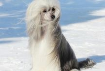 chinese crested PP