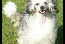chinese crested and Powder puffs