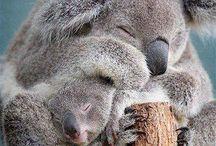 Sweet Koala Bears