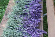 Levanduľa,lavande,lavender... / Ďalšia z mojich lások. Sama ju pestujem, len tak pre potešenie zmyslov :)