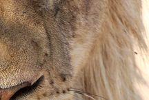 Lion / Lion Sweet Strong Savage