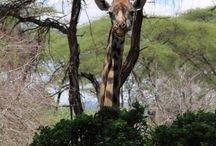 Safaris / Art in Tanzania is running safari and tour programs to all Tanzanian wildlife parks as well as Mt Kilimanjaro climbs, Zanzibar tours for t fund raise for the community program.