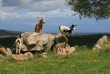 Animali della Sardegna - Tiere auf Sardinien - Animals on Sardinia / Mehr über Sardinien auf http://www.pecora-nera.eu/