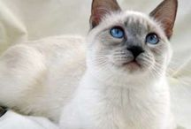 lilac point siamese (Mittens)