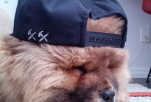 Chow Chow / Dogs