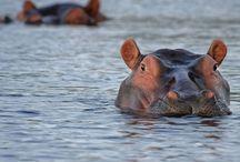 Sélection Faune / Marcher avec les lions dans la brousse en Afrique du Sud, nager aux côtés des requins baleines en Indonésie, s'approcher des effrayants iguanes aux Galapagos... approcher de très près la faune des destinations sélectionnées.