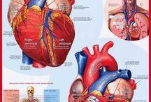 Сердце / Сердечно-сосудистые заболевания и профилактика