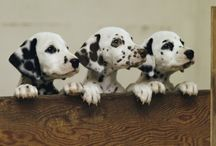 Dalmatian / White and Black and Love all over. / by Cecelia Morrisson