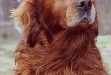 Long haired, red golden retriever