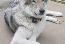 native american indian dog