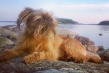 Brusselsgriffon / Here is Putte, one year old brusselsgriffon, a merry and brave little friend.