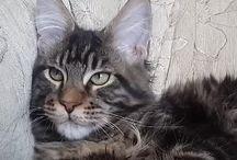 Мейн кун кошки