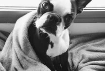 Boston Terrier Board