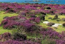 Fleurs dans les Pays Celtes