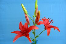 киреевские лилии