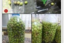 yeşil zeytin yapımı