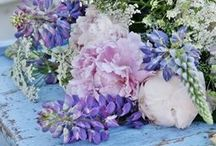 Hydrangea  Hortensia Cottage...
